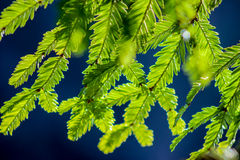 Redwoodträdvisare i solen royaltyfria foton