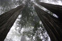 Redwoodträd trees-1 Royaltyfri Bild