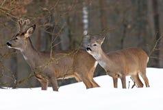 Reeën in de winter Royalty-vrije Stock Foto's