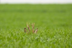Reeën die in capreolus van gebiedscapreolus weiden royalty-vrije stock foto's