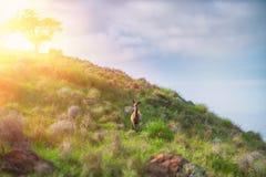 Reeën die zich in een grashelling bevinden Zonsondergang op de hemel stock afbeelding