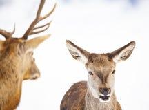 reeën en edel hertenmannetje in de wintersneeuw stock afbeelding