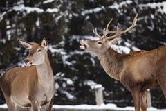 reeën en edel hertenmannetje in de wintersneeuw stock afbeeldingen