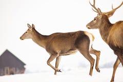 reeën en edel hertenmannetje in de wintersneeuw stock fotografie