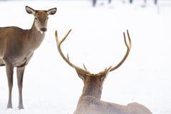 reeën en edel hertenmannetje in de wintersneeuw royalty-vrije stock foto