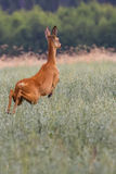 Reeën op de looppas in de wildernis Royalty-vrije Stock Afbeelding