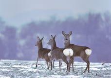 Reeën op winters gebied Royalty-vrije Stock Afbeeldingen