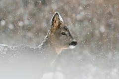 Reeën in sneeuwval Stock Foto