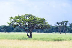 Tree in the Serengeti, Tanzania, Africa, Sausage Tree, typical African Tree in Savannah. This tree is called Sausage Tree from the natives in the Serengeti royalty free stock image