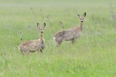 Ree, cervo de ovas, capreolus do Capreolus fotografia de stock royalty free