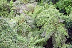 Ree paproć w tropikalnym lesie deszczowym Australia Obraz Stock