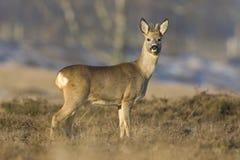 Ree, Roe deer, Capreolus capreolus. Ree op de hei Nederland, Roe deer amongst heather Netherlands stock photos