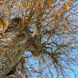 Ree-Stamm, Niederlassungen und gelber und trockener Herbstlaub gegen Blaues Stockbild