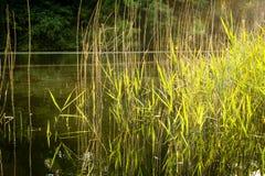 Reed à la lumière du soleil Photographie stock libre de droits