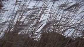 Reed наряду с озером или рекой сток-видео