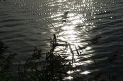 Reed внутри против свет стоковые изображения