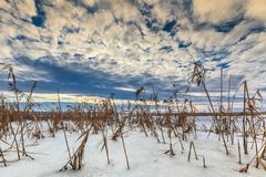 Reed в зиме стоковое изображение rf