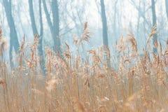 Reed в поле вдоль край озера стоковая фотография rf