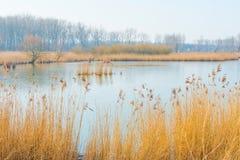 Reed в поле вдоль край озера стоковое фото