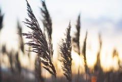 Reed и заход солнца Стоковые Изображения RF