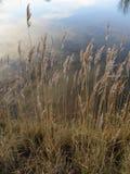 Reed и отражение облаков в воде Стоковые Фото