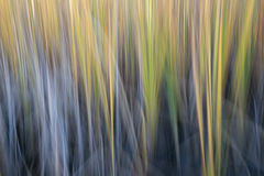 Reed - конспект нерезкости движения природы Стоковое фото RF