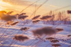 Reed на заходе солнца Стоковые Фото