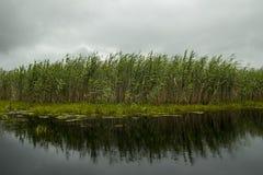 Reed на реке Стоковое Изображение RF
