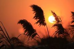 Reed отражает заходящее солнце стоковое изображение