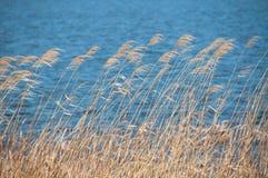 Reed против открытого моря Стоковые Фото