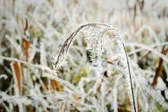 Reed с кристаллами заморозка гололеди в зимнем времени Стоковые Изображения RF