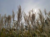 Reed цветет полностью цветене на ландшафте вечера гигантского Reed предпосылки неба стоковая фотография