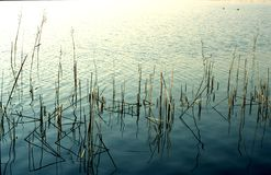 Reed. Waterfront in Italy Royalty Free Stock Image