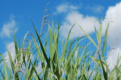 A reed. Green reed on a blue sky background royalty free stock image