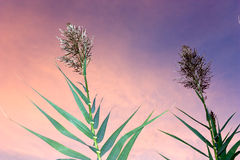 Reed. Phragmites australis, cane of swamp,  reed in sunset background Royalty Free Stock Images