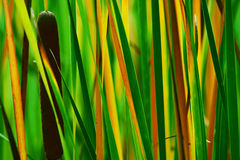 Reed. A loseup of a reed in Rose-Garden in Coburg Royalty Free Stock Image