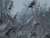 Snowy reeds stock images