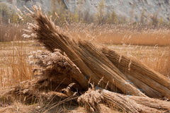 Reed. A bunch of fresh-cut Reed royalty free stock image