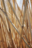 Reed. Close up of reed in nature Royalty Free Stock Photo