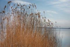 Reed пошатывает в ветре Около воды стоковая фотография