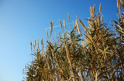 Reed. Royalty Free Stock Photo