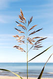 Reed. Royalty Free Stock Images