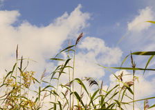 Reed. Royalty Free Stock Photography