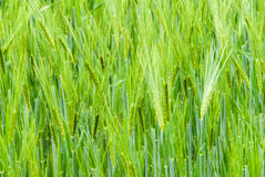 Reed. Close-up of green reed Stock Photos