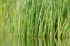 Reed. At the shore of a lake royalty free stock photos