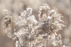 Reed. In an autumn day Stock Images