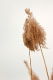 Reed 3 Stock Images