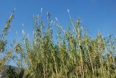 Reed Imagenes de archivo