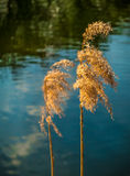 Reed Image stock