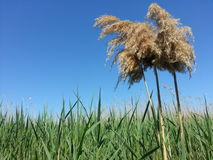 Reed Stockbild
